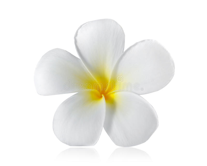 Flor do Frangipani isolada no branco foto de stock