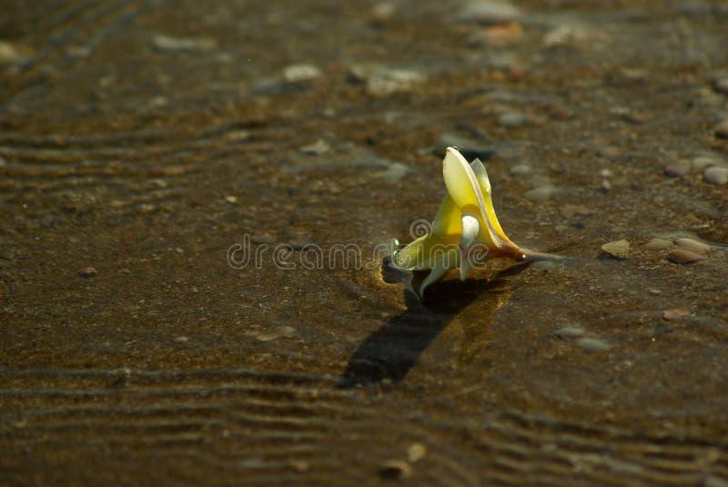 Flor do Frangipani no Sandy Beach com rochas e escudos fotografia de stock