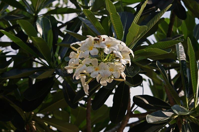 Flor do Frangipani ou Plumeria, plantas de florescência com aroma imagem de stock royalty free