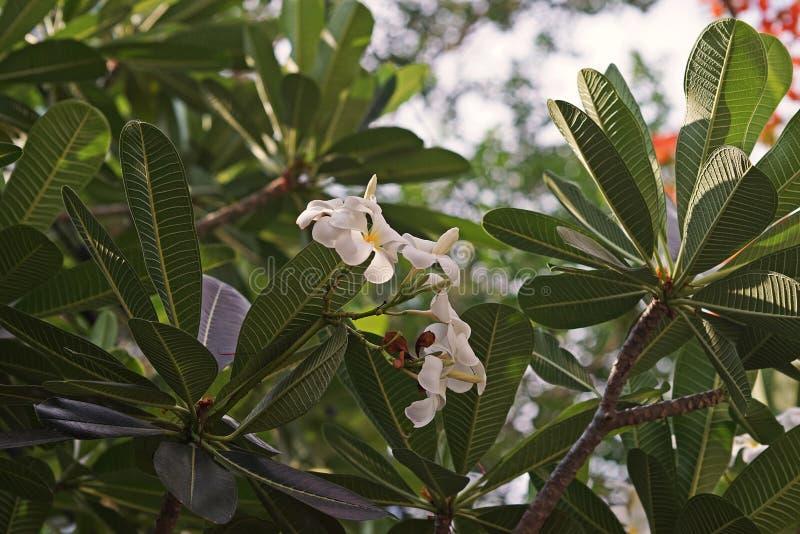 Flor do Frangipani ou Plumeria, plantas de florescência com aroma imagens de stock