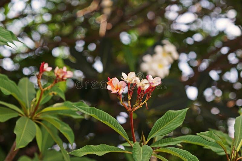 Flor do Frangipani ou Plumeria, plantas de florescência com aroma imagem de stock
