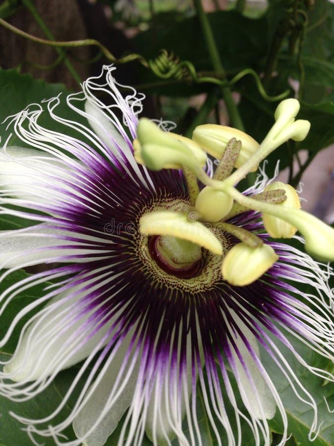 Flor do fruto de paixão foto de stock