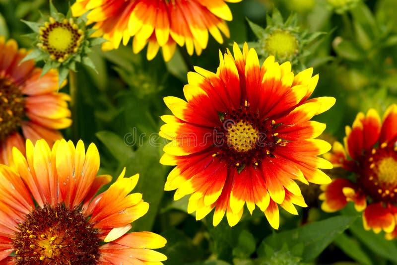 Flor do Gaillardia imagens de stock