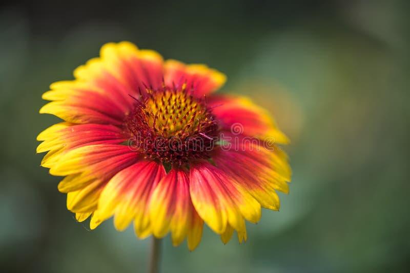 Flor do Gaillardia fotografia de stock royalty free