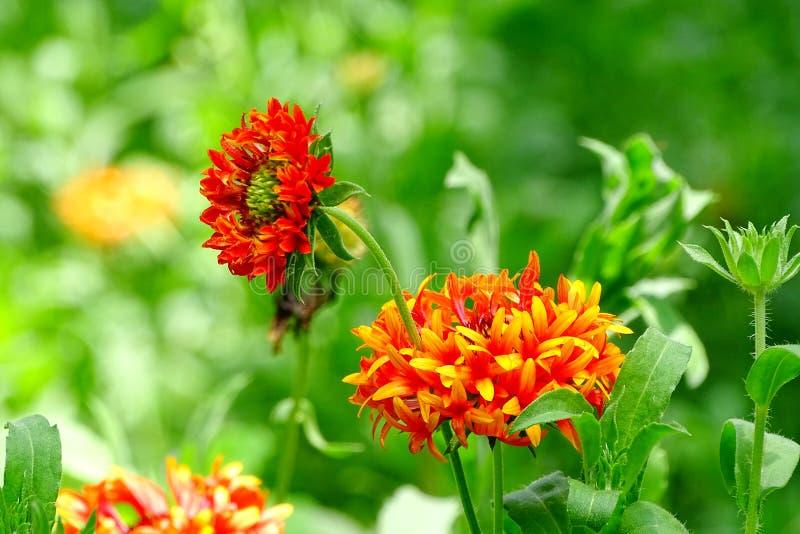 Flor do Gaillardia fotos de stock