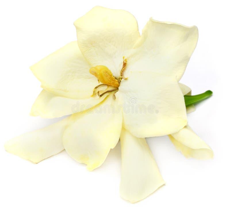 Flor do Gardenia ou do Gondhoraj imagem de stock royalty free