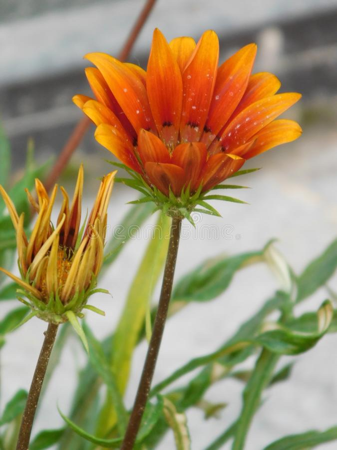 Flor do Gazania fotos de stock royalty free