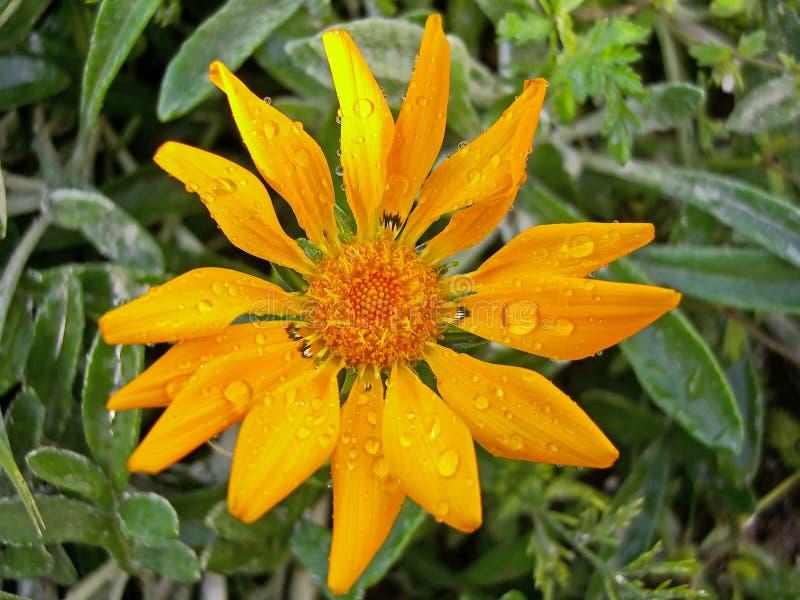 Flor do Gazania imagem de stock royalty free