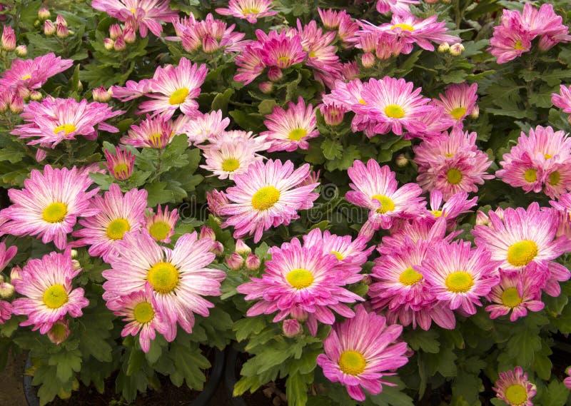 Flor do Gazania fotografia de stock