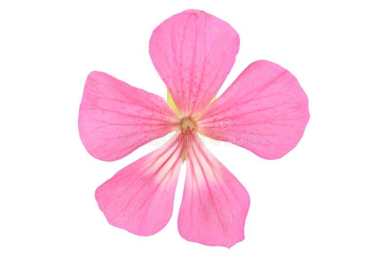 Flor do gerânio fotos de stock