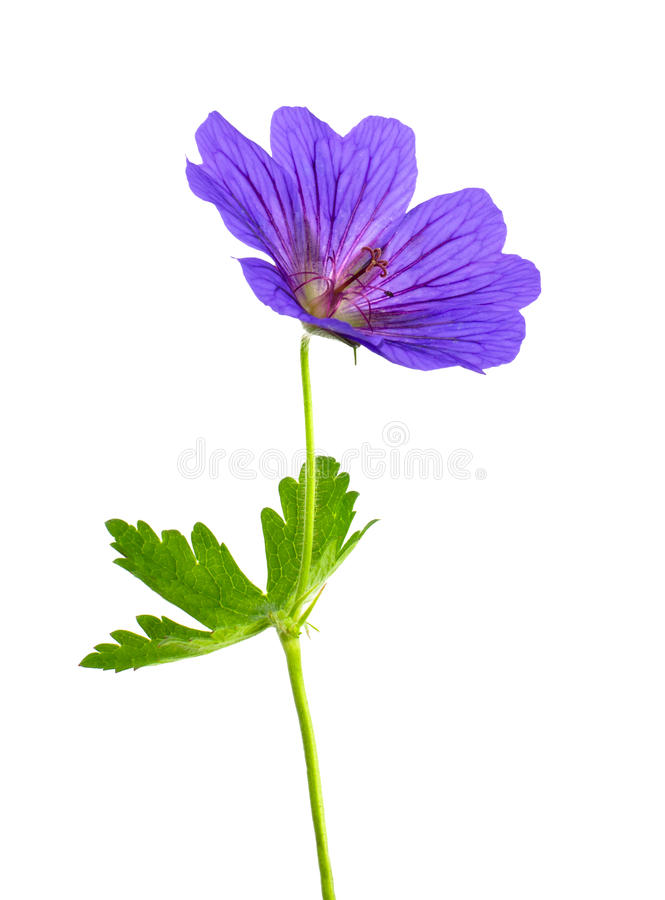 Flor do gerânio isolada no branco foto de stock