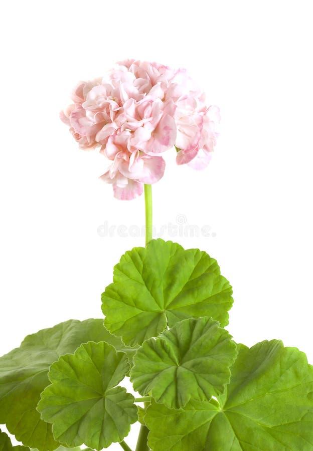 Flor do gerânio isolada no fundo branco foto de stock