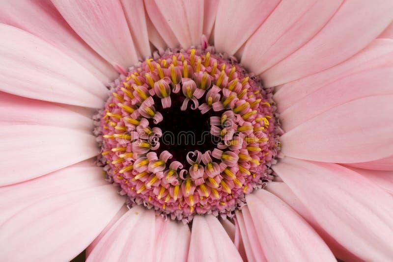 Flor do Gerbera da margarida de Barbeton fotos de stock royalty free