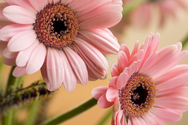 Flor do Gerbera da margarida de Barbeton fotografia de stock