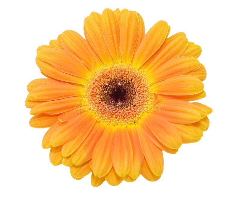 Flor do Gerbera isolada sobre o branco imagem de stock royalty free