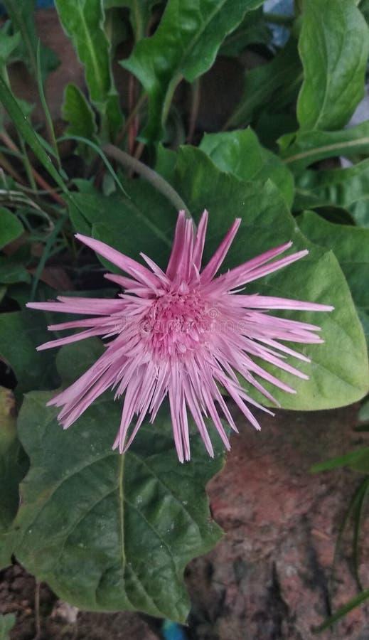 Flor do Gerbera no jardim fotografia de stock