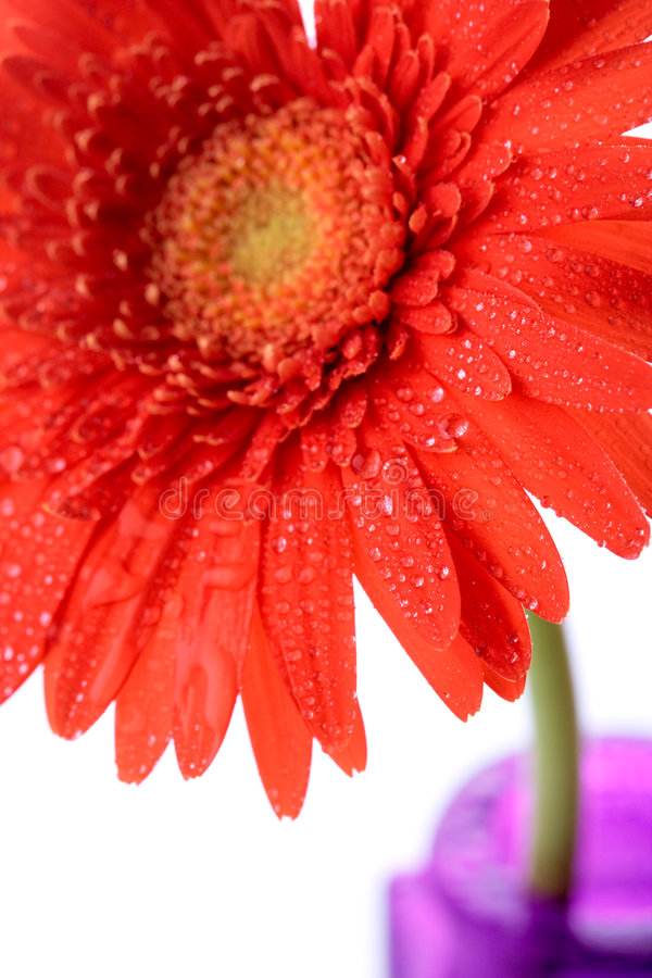 Flor do Gerbera no vaso foto de stock