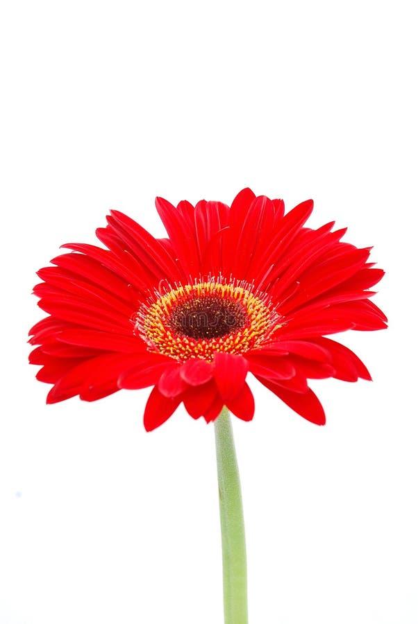 Flor do Gerbera no vermelho foto de stock