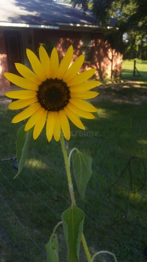 Flor do girassol imagens de stock