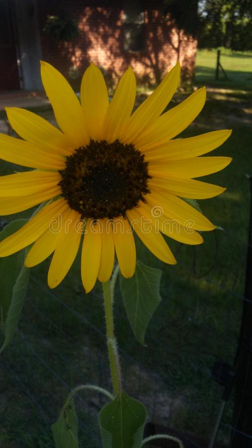 Flor do girassol imagens de stock royalty free