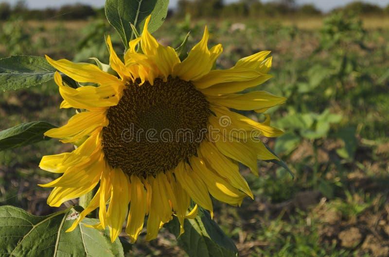 Flor do girassol com folha imagens de stock