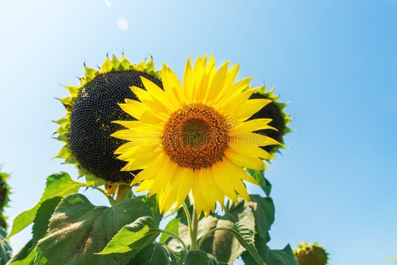 Flor do girassol e do preto imagens de stock