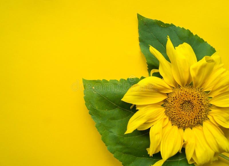 Flor do girassol em um fundo amarelo foto de stock royalty free