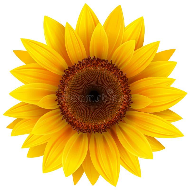 Flor do girassol isolada ilustração royalty free