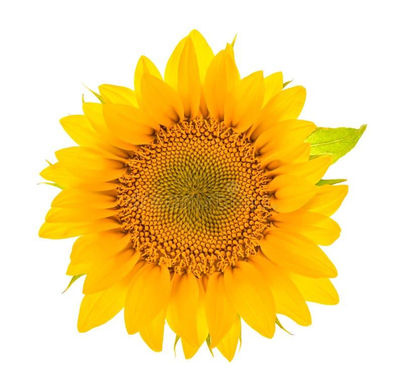Flor do girassol isolada no branco Cabeça de flor imagens de stock royalty free