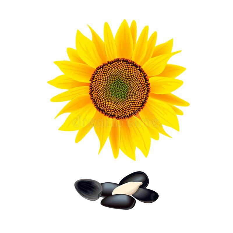 Flor do girassol isolada no fundo branco montão das sementes Ilustração do vetor ilustração royalty free