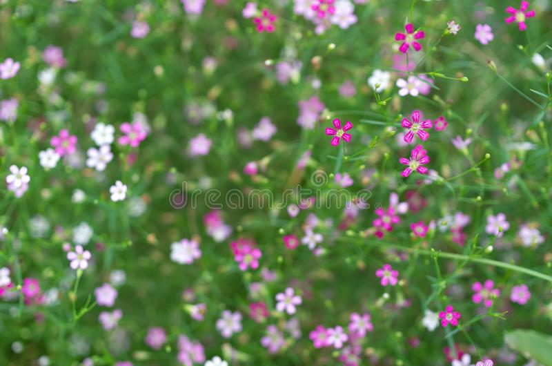 Flor do gypsophila do close up imagens de stock royalty free