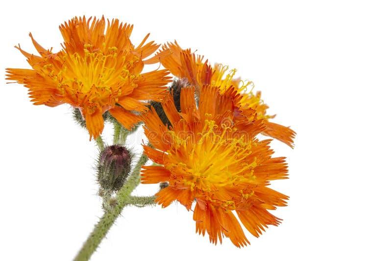 Flor do Hawkweed alaranjado imagem de stock