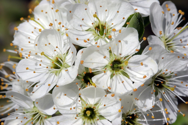 Flor do Hawthorn na luz solar foto de stock