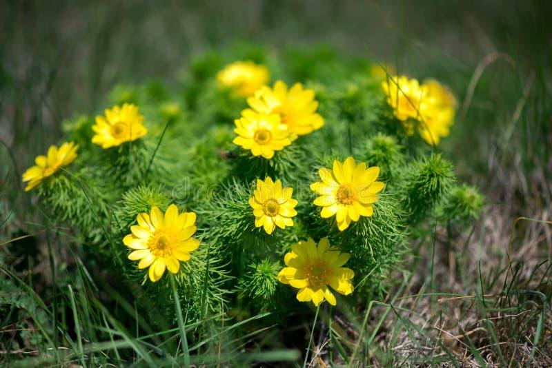Flor do hellebore falso, erva medicinal dos vernalis de Adonis foto de stock