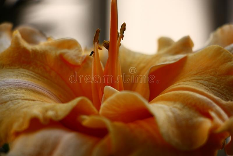 Flor do Hemerocallis na aproximação imagens de stock royalty free