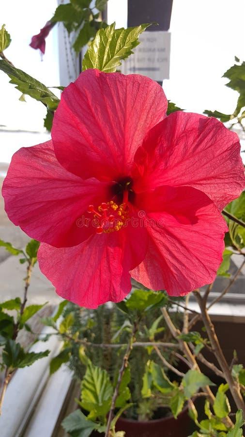 Flor do hibiscus foto de stock