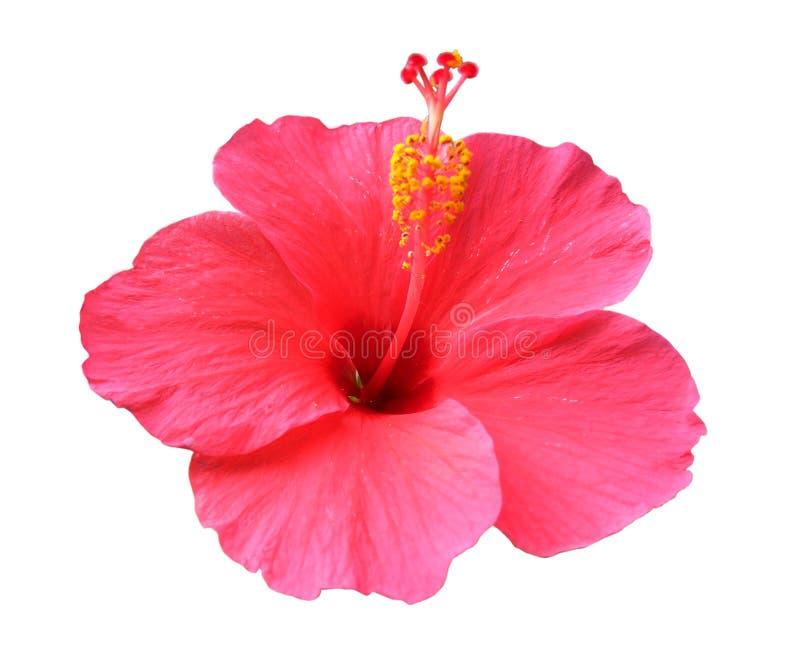 Flor do hibiscus isolada no fundo branco imagens de stock royalty free