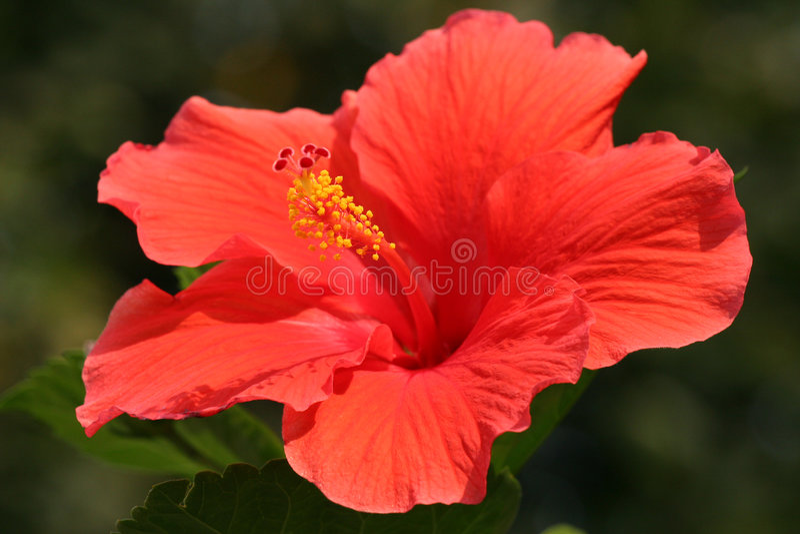 Flor do hibiscus (Rosa de Sharon) fotografia de stock