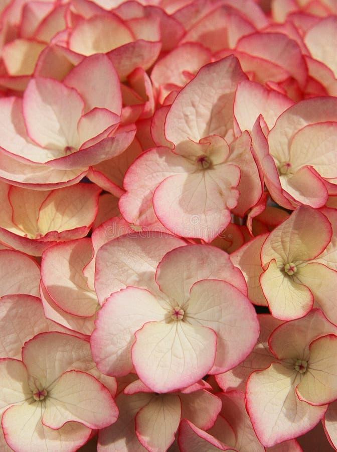 Flor do Hydrangea foto de stock