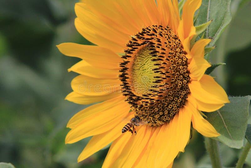 Flor do inseto que caça o néctar imagens de stock royalty free