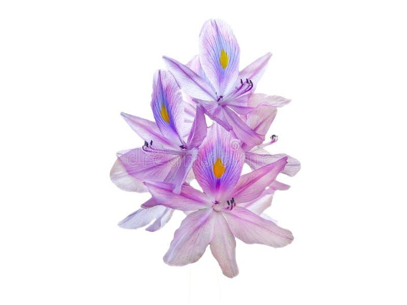 Flor do jacinto de água no fundo branco imagem de stock