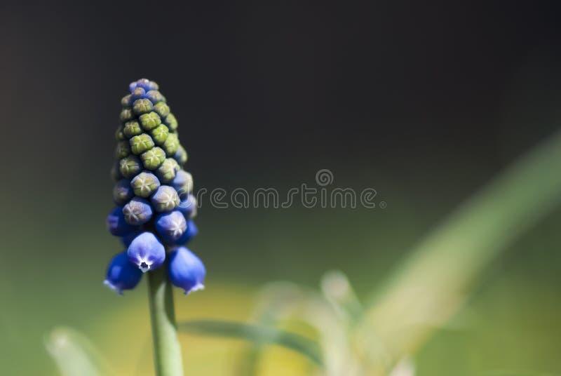 Flor do jacinto de uva imagem de stock