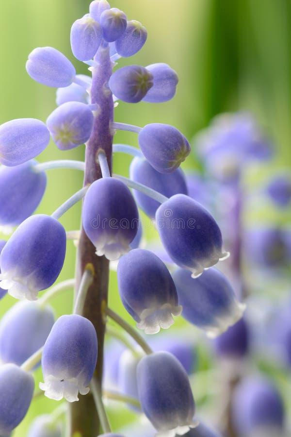 Flor do jacinto de uva na flor imagem de stock royalty free