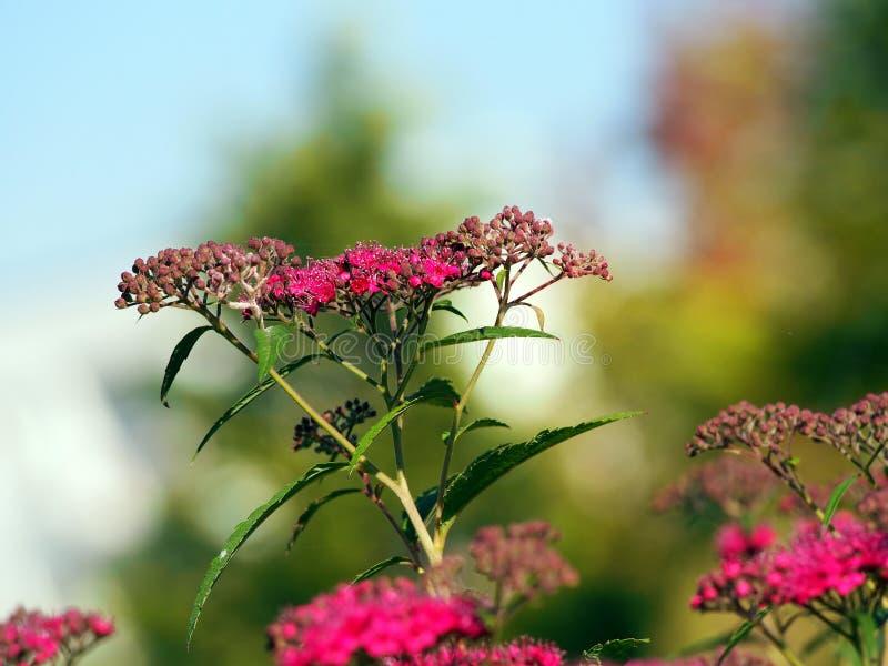 Flor do japonica do Spiraea - Spirea imagem de stock