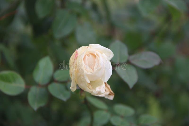 A flor do jardim aumentou verde da natureza imagens de stock royalty free
