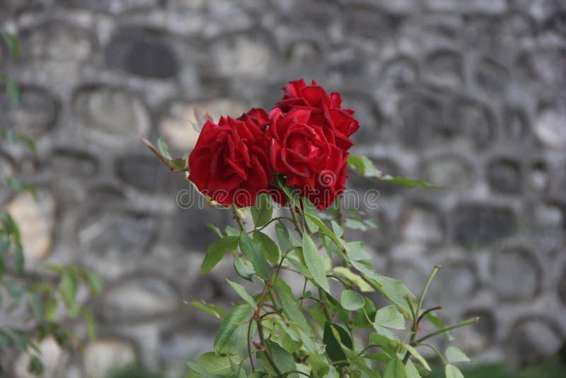 A flor do jardim aumentou verde da natureza imagem de stock