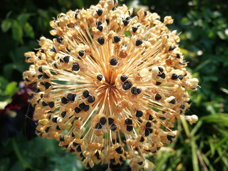 Flor, flor do jardim com sementes pretas imagem de stock royalty free