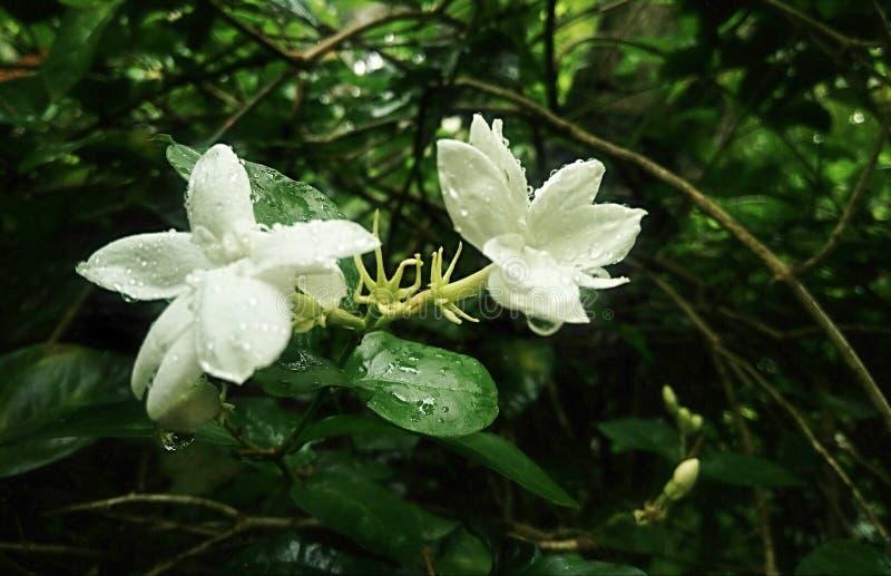 Flor 1 do jasmim de 3 imagens de stock royalty free