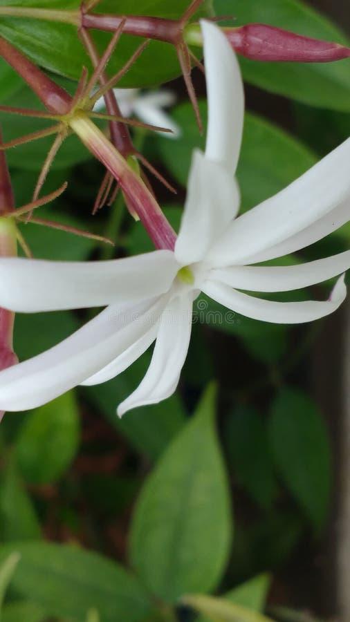 Flor do jasmim de inverno fotos de stock