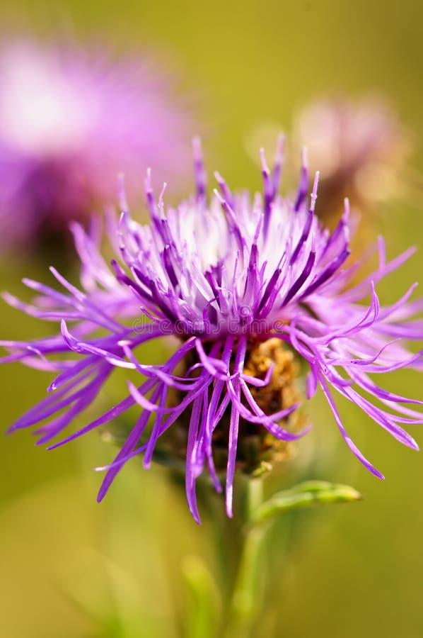 Flor do Knapweed foto de stock